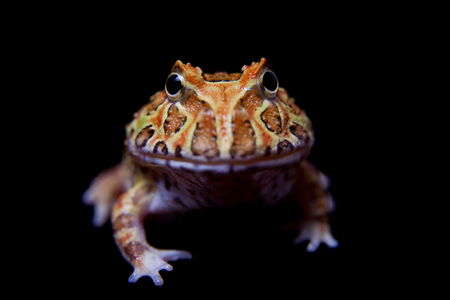 The chachoan horned frog isolated on black Stock Photo