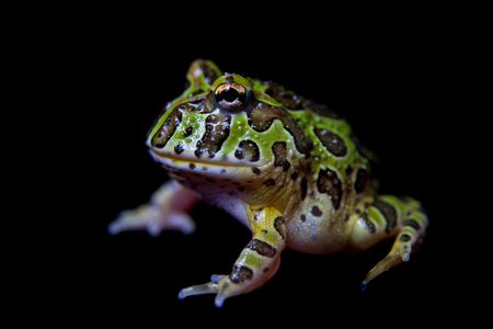 The Argentine horned froglet isolated on black