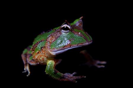 The Amazonian horned froglet isolated on black Banco de Imagens