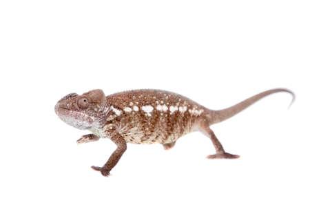 The Oustalet's or Malagasy giant chameleon, Furcifer oustaleti, female isolated on white Imagens - 104616591