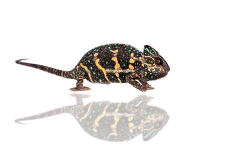 The veiled chameleon, Chamaeleo calyptratus, female isolated on white background