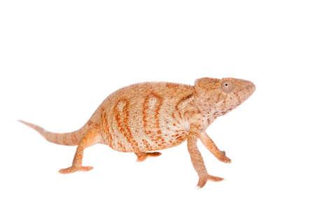 The Oustalets or Malagasy giant chameleon, Furcifer oustaleti, female isolated on white Banco de Imagens