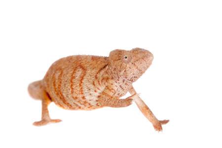 The Oustalet's or Malagasy giant chameleon, Furcifer oustaleti, female isolated on white