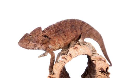 The Oustalet's or Malagasy giant chameleon, Furcifer oustaleti, male isolated on white