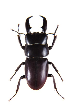 Stag beetle on the white background
