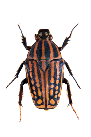 Stripped beetle on the white background