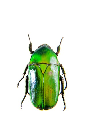 Green beetle on the white background