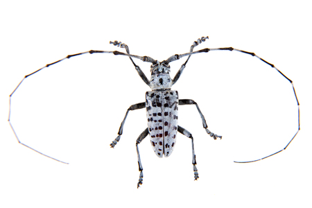 The Pine sawyer beetle on the white background Banco de Imagens