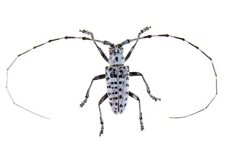 The Pine sawyer beetle on the white background Фото со стока