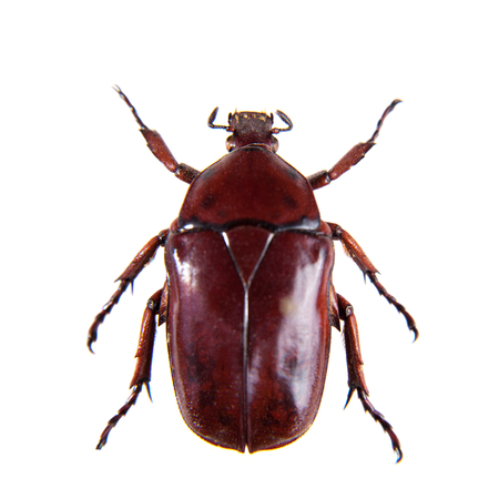 Red beetle on the white background