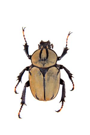 Arlequin beetle on the white background Banco de Imagens