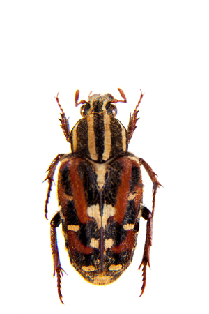 Flower beetle on the white background Stock Photo