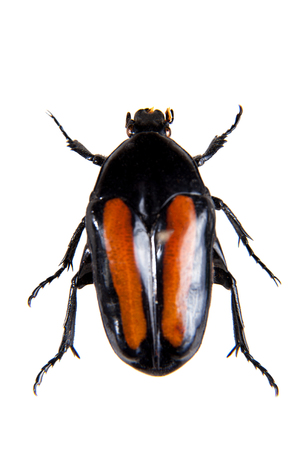 Spotted beetle on the white background