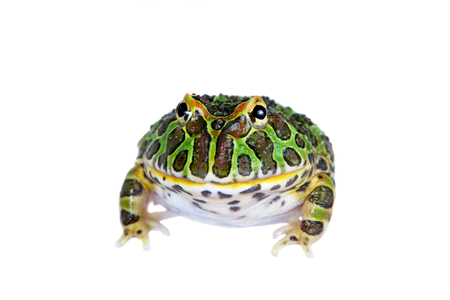 The Argentine horned froglet isolated on white