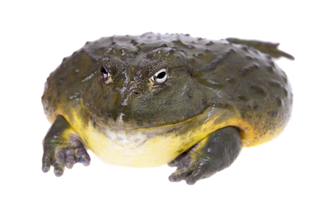 The African bullfrog, adult male on white