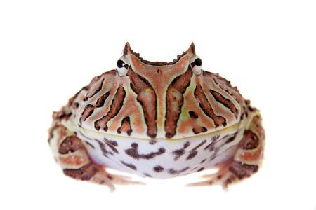 The Fantasy horned frog isolated on white Banco de Imagens