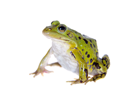 Green Pool Frog on white, Pelophylax lessonae