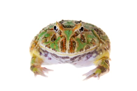 The chachoan horned frog, Ceratophrys cranwelli, isolated on white background Banco de Imagens