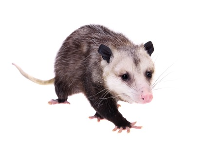 The Virginia opossum, Didelphis virginiana, on white