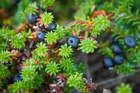 Black crowberry on White sea bay, Russia