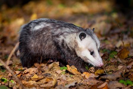 The Virginia opossum, Didelphis virginiana, in autumn park 写真素材