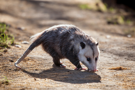 The Virginia opossum, Didelphis virginiana, in autumn park Stock Photo