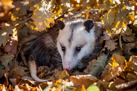 The Virginia opossum, Didelphis virginiana, in autumn park Reklamní fotografie