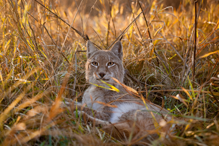 Abordable Eurasian Lynx, portrait in autumn field Stock Photo