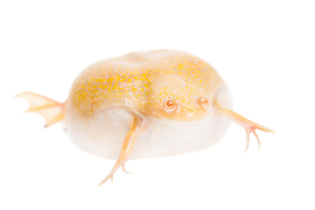 Albino african clawed frog on white background Stock Photo