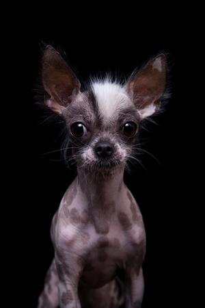 Peruvian hairless and chihuahua mix dog on black