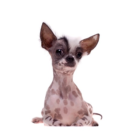 Peruvian hairless and chihuahua mix dog on white