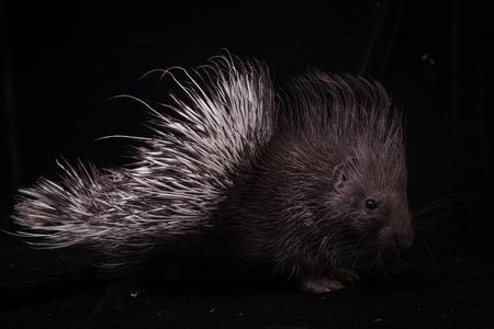 Indian crested Porcupine baby on black backgrond