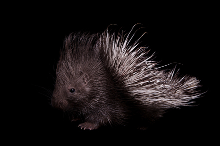 Indian crested Porcupine baby, Hystrix indica, isolated on black background