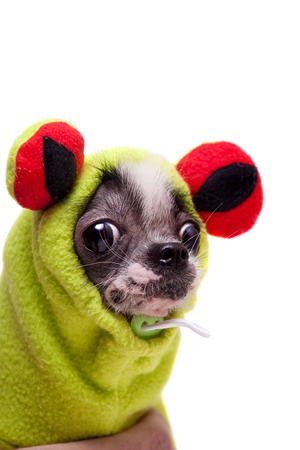 Peruvian hairless and chihuahua mix dog in frog costume isolated on white background