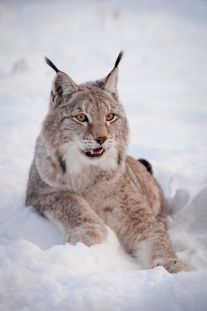 Abordable Eurasian Lynx, portrait in winter field Stock Photo