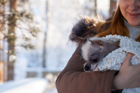 Peruvian hairless and chihuahua mix dog in the winter field Stockfoto