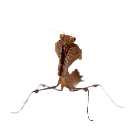 Giant Dead Leaf Mantis, Deroplatys desiccata on white Stock Photo