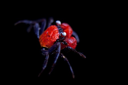 Little Red devil Crab isolated on black Stock Photo