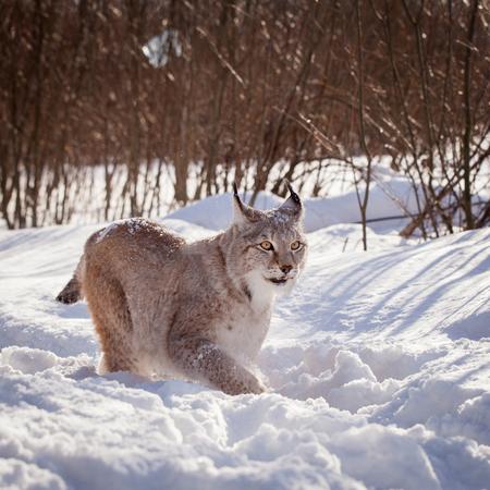 Abordable Eurasian Lynx, portrait in winter field 免版税图像