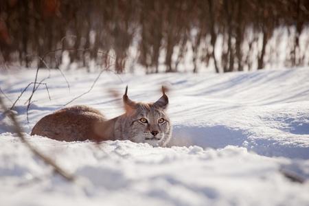 Abordable Eurasian Lynx, portrait in winter field Stock Photo