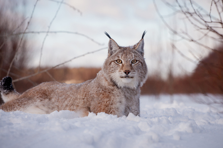 Abordable Eurasian Lynx, portrait in winter field Banco de Imagens