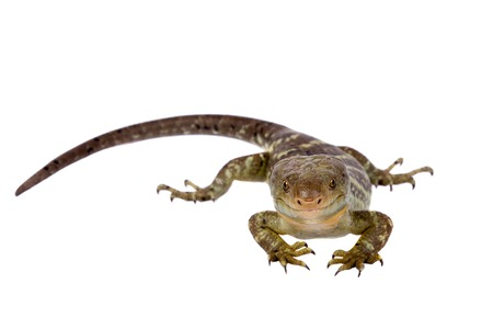 The Solomon Islands skink on white background Stock Photo