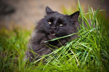 Black Maine Coon cat on green grass in a garden Foto de archivo