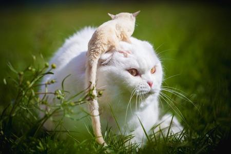 White Scottish Fold cat with white sugar glider on grass 写真素材