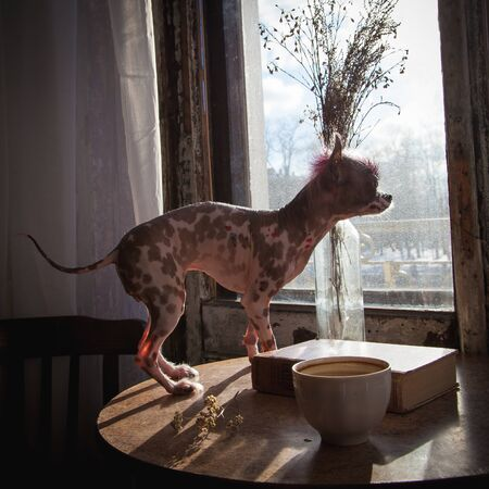 Punk style peruvian hairless and chihuahua mix dog with tattoo Banco de Imagens