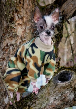Military style peruvian hairless and chihuahua mix dog on the tree