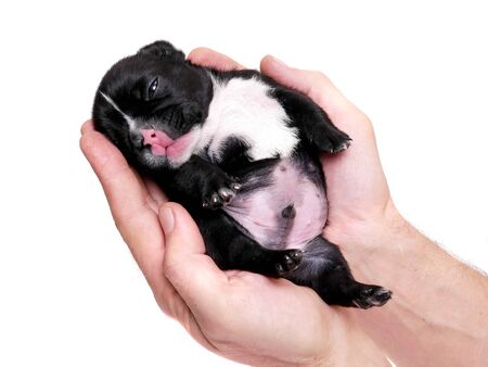 French bulldog, 3 weeks old, puppy on white