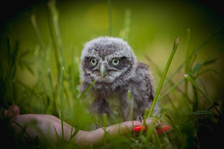 Little Owl Baby, 5 weeks old, on grass