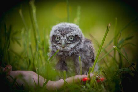 Little Owl Baby, 5 weeks old, on grass Stok Fotoğraf - 131756048