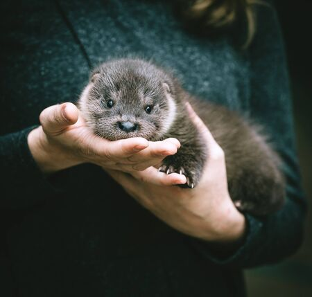 An orphaned European otter cub on hands